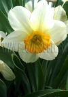 Нарциссы (Narcissus), смесь сортов Флауэр Рекорд (Flower Record) и Лемон Кап (Lemon Cup)