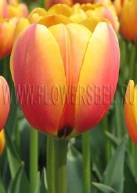 Тюльпан Уорд Пис фото (Tulip World Peace photo)